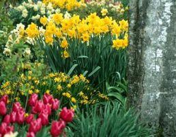 Er Tulipaner og påskeliljer Frost Tolerant?