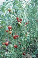 Betyr Frost Drep en Tomato Plant?