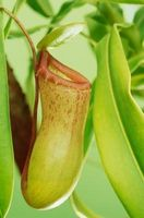 Instruksjoner for Pitcher Plant Care