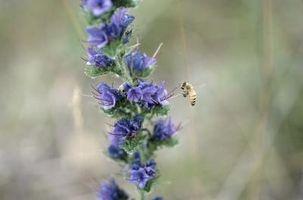Hva er omfanget av den Honeybee?