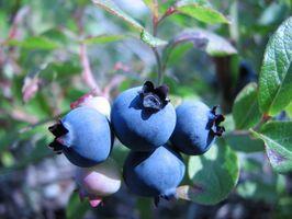 Hvordan forplante blåbær planter