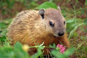 Hjem rettsmidler for å bli kvitt Groundhogs