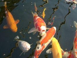Hvordan å mate fisk i en Outdoor Pond