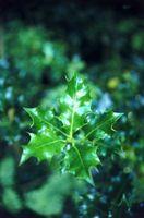 Hvordan Plant Ilex crenata Comp