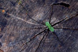 Hvordan identifisere Trær etter Bark