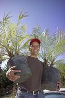 Hvordan fikse en Big Hole i en Sago Palm Tree
