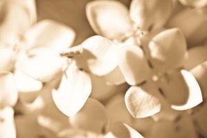 Når Orchid blomster faller av, Har Orchid fortsatt produserer blomster?
