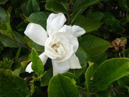 Typer av Hawaiian blomster