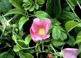 Problemene med Rugosa Roses
