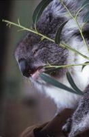 Vil en snøstorm Drep en Eucalyptus Tree?