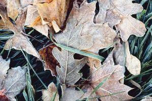 Interessante fakta om Red Oak Leaf