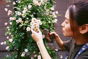 Hvordan å beskjære og Deadhead rosebusker
