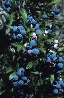 Hvordan holde Bugs Out of blåbær busker