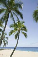 Hvordan Kill a Poisoned Coconut Tree