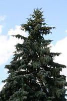 Hvordan feed eviggrønne trær