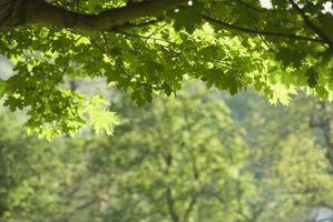 Grønn Ash Tre Skadedyr og sykdommer