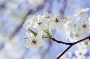 Carolina Blomstrende trær