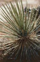 Skulle Yucca Planter Være i sol eller skygge?