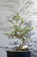 Umbrella Tree Bonsai Fra frø