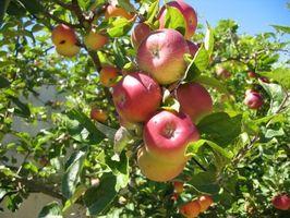 Hvordan Trim Apple Trees