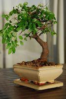 Hvordan Grow Bonsai Trees Fast