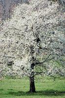 Blomstring Dogwood Native i Michigan