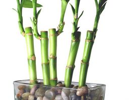Lucky Bamboo Pot Størrelse