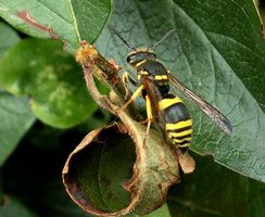 Hvordan Kill a Wasp Rundt en stikkontakt