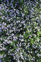 Er Forglemmegei Perennial Flowers?