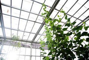 Hvordan Grow gummitrær i et drivhus