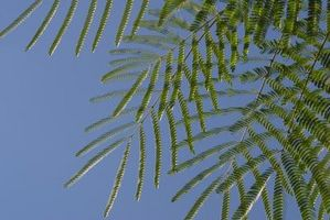 Hvordan Grow en Mimosa treet i Massachusetts