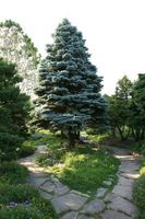 Hvordan Grow eviggrønne trær for å bedre luftkvaliteten