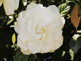 Kjennetegn på Gardenias