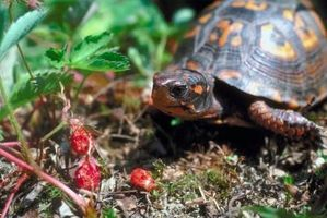 Planter som er giftige til Box Turtles