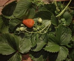 Hvordan Kill Sow Bugs i Jordbær