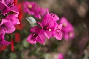 Hvorfor vil ikke jeg Bougainvillea Flower?