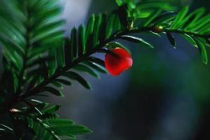 artene i bartrær