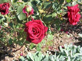 Hvordan å beskjære rosebusker i Florida