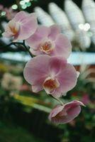 Over gjødsling Orchids