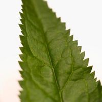 Hvordan Tørk nesle blader