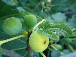 Typer av italiensk Fig Trees