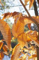 Leaf Curl på frukttrær