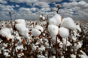 The Life Cycle av Cotton Plant