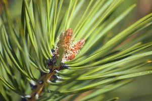 Hvordan gjør jeg Plant Spruce & Pine Trees?