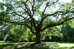 Hvordan Skrell Bark Av en Oak Tree