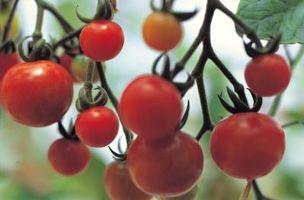 Er Tomato Vine i en Topsy Turvy Planter Sterk nok til å holde de råtne tomater?