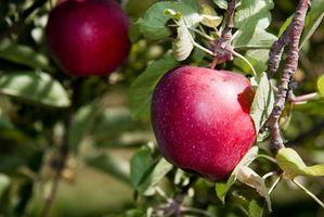 Hvordan Thin Moden Apple Trees