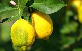 Hva er årsaken til Lemon Tree Leaves til Krøll?