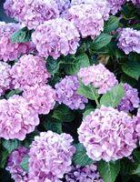 Er Hydrangea en monocot eller dicot?