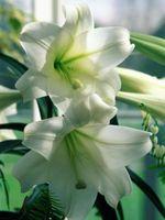 Hvordan lage Bloom Striped Trumpet Lily
